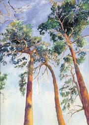 Pine-Tree-Tops